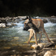 malinois in river - PhotoDune Item for Sale