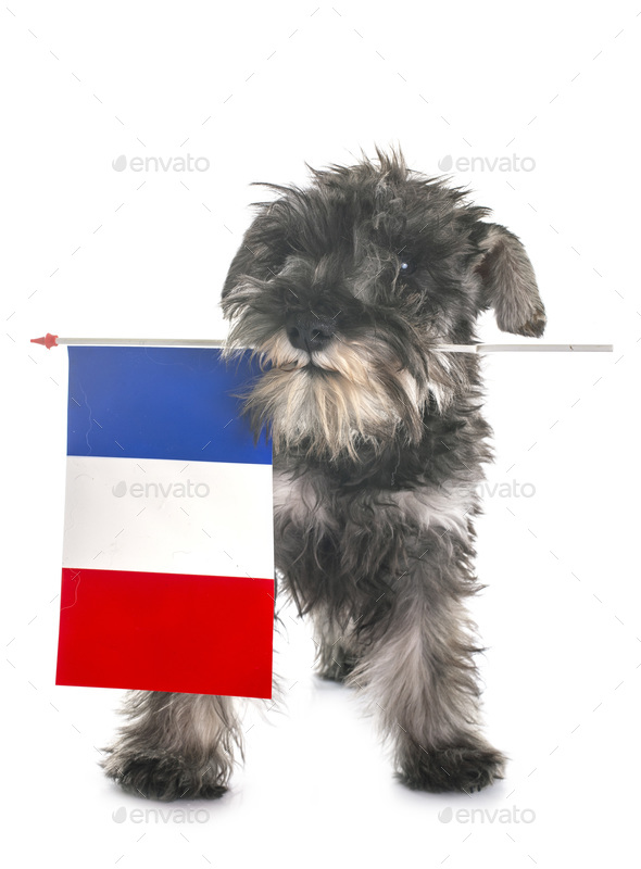 puppy Miniature Schnauzer and french flag - Stock Photo - Images