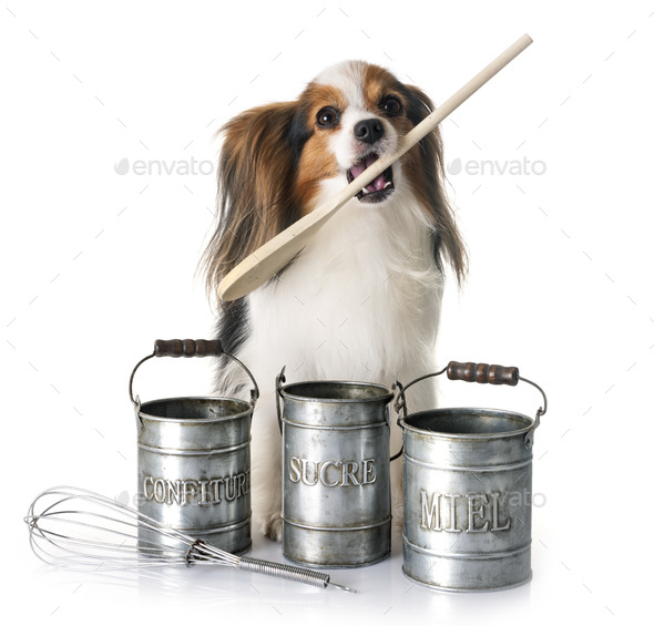 papillon dog cooking - Stock Photo - Images