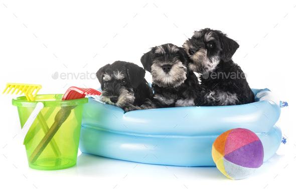 puppies miniature schnauzer - Stock Photo - Images