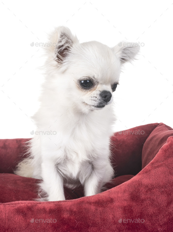 chihuahua in cushion - Stock Photo - Images