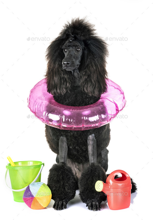 black standard poodle - Stock Photo - Images