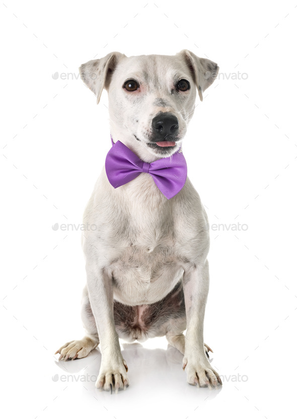jack russel terrier - Stock Photo - Images