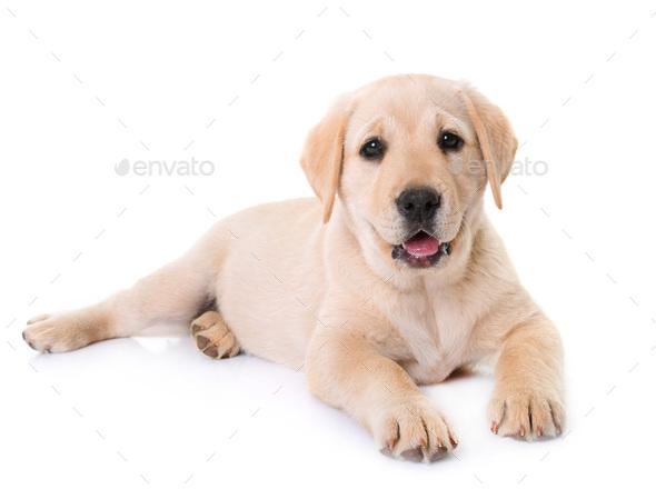 puppy labrador retriever - Stock Photo - Images