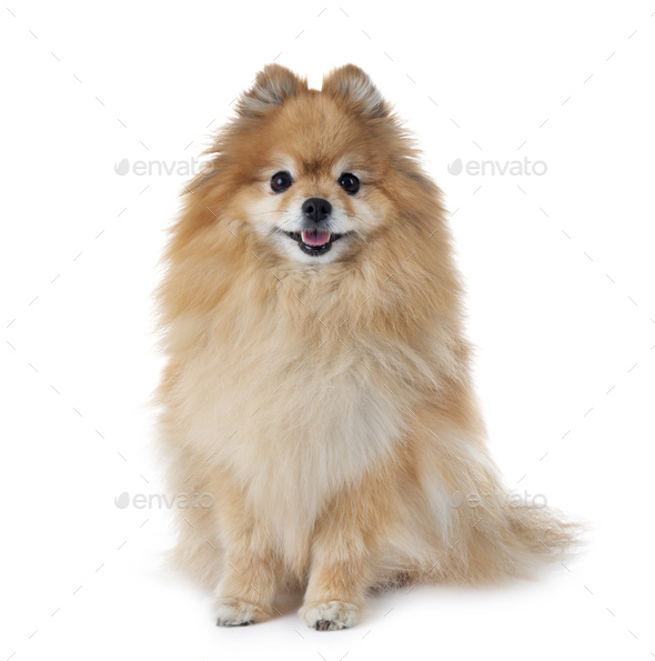 pomeranian in studio - Stock Photo - Images