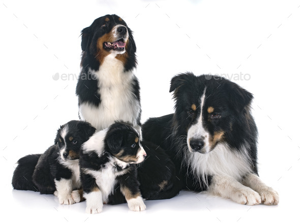 australian shepherd family - Stock Photo - Images