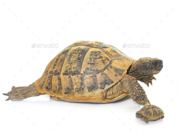 Hermanns Tortoise and baby turtles - Stock Photo - Images