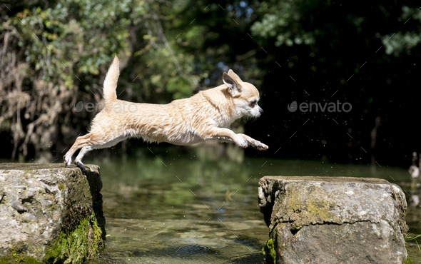 chihuahua jumping in nature - Stock Photo - Images