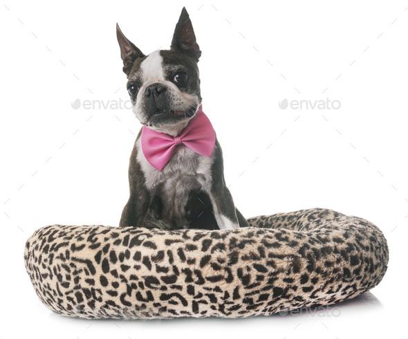 boston terrier in studio - Stock Photo - Images