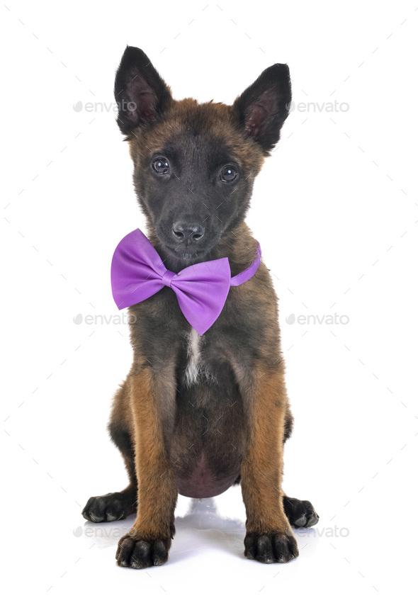 puppy belgian shepherd - Stock Photo - Images