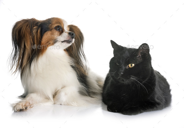 papillon dog and cat - Stock Photo - Images