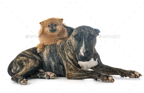 bull terrier and spitz - Stock Photo - Images