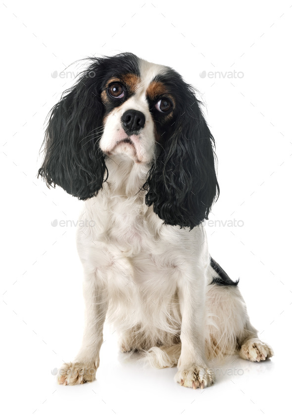 cavalier king charles - Stock Photo - Images