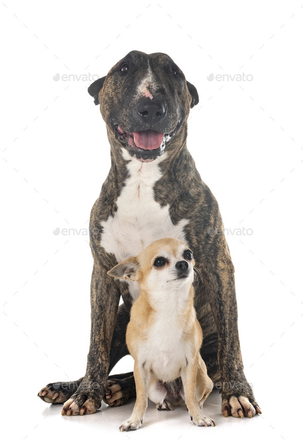 bull terrier and chihuahua - Stock Photo - Images