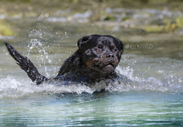 rottweiler in river - Stock Photo - Images
