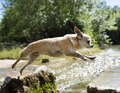 chihuahua jumping in nature - PhotoDune Item for Sale