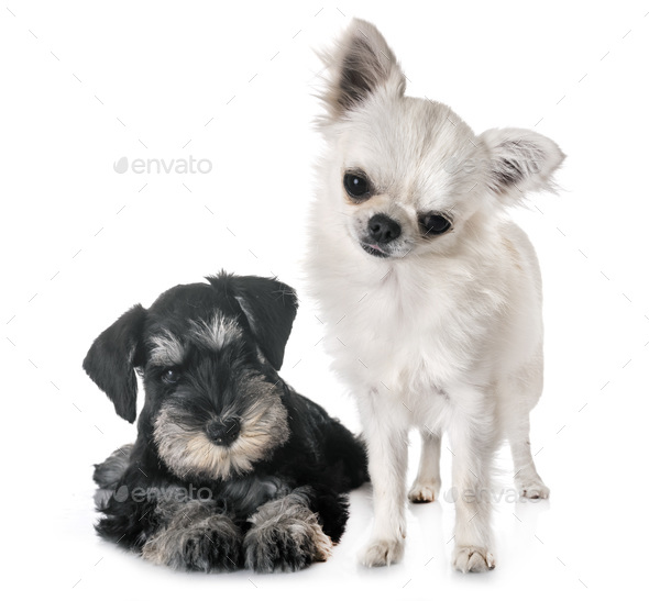 puppy miniature schnauzer and chihuahua - Stock Photo - Images