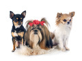 Shih Tzu and chihuahuas - PhotoDune Item for Sale