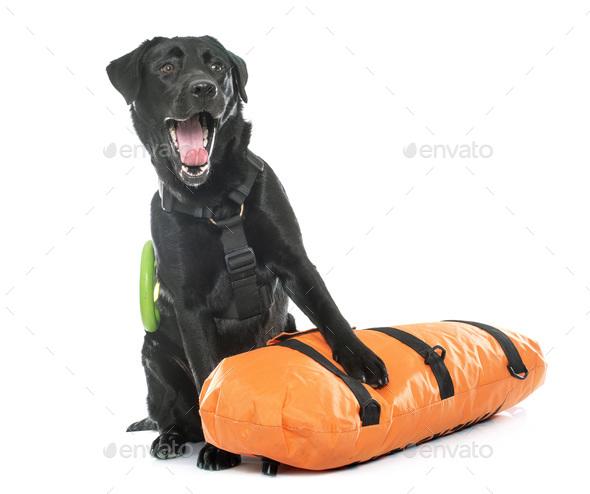 rescue labrador retriever - Stock Photo - Images