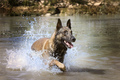 malinois in the river - PhotoDune Item for Sale