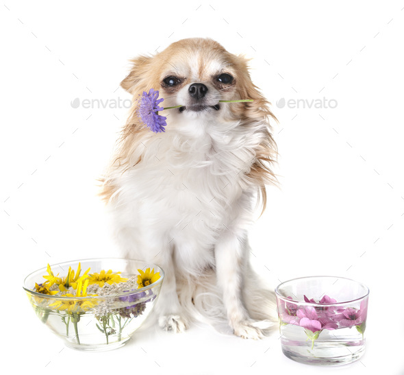 dog and essential oils - Stock Photo - Images