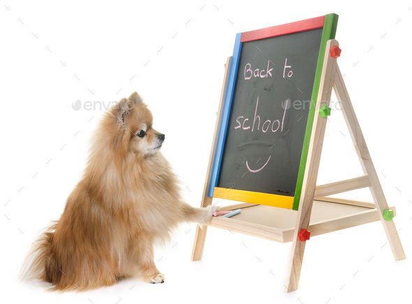 pomeranian spitz in studio - Stock Photo - Images