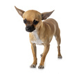 young chihuahua in studio - PhotoDune Item for Sale
