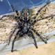 Giant house spider (Eratigena atrica) - PhotoDune Item for Sale