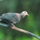 Collared Dove or Streptopelia Decaocto on Branch - VideoHive Item for Sale
