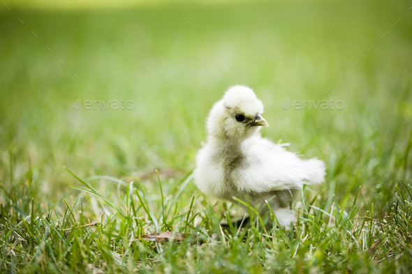 Silkie Chick in Grass - Stock Photo - Images