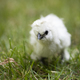 Silkie Chick in Grass - PhotoDune Item for Sale