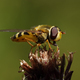 Hoverfly (Syrphidae) - PhotoDune Item for Sale