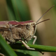 Grasshopper (Orthoptera) - PhotoDune Item for Sale