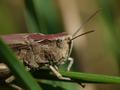 Grasshopper (Orthoptera)