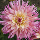 Nenekazi Dahlia - PhotoDune Item for Sale