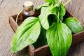 Green plantain plantago - PhotoDune Item for Sale