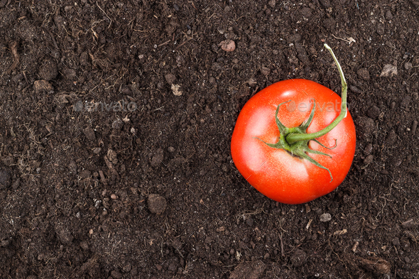 Fresh Tomatoes On The Soil Background  - Stock Photo - Images