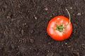 Fresh Tomatoes On The Soil Background  - PhotoDune Item for Sale