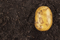 Fresh Potato On The Ground  - PhotoDune Item for Sale