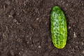 Fresh Cucumber On The Soil  - PhotoDune Item for Sale