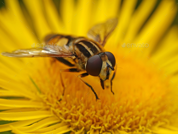 Large tiger hoverfly (Helophilus trivittatus) - Stock Photo - Images
