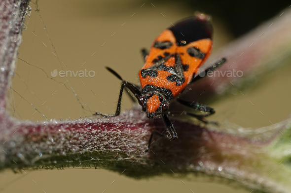 Cinnamon bug (Corizus hyoscyami) - Stock Photo - Images