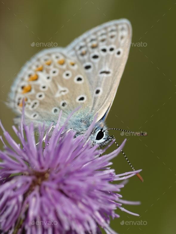 Northern blue (Plebejus idas) - Stock Photo - Images