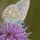 Northern blue (Plebejus idas) - PhotoDune Item for Sale