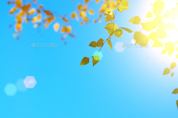 Yellow birch leaves during fall season against sunny blue sky - Stock Photo - Images