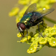 Calliphoridae fly - PhotoDune Item for Sale