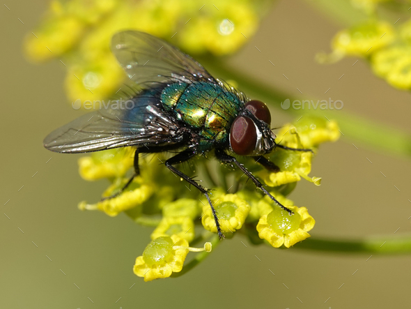 Calliphoridae fly - Stock Photo - Images