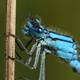 Common blue damselfly (Enallagma cyathigerum) - PhotoDune Item for Sale