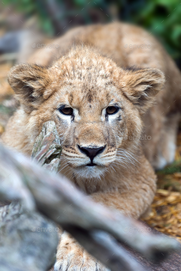 Young lion cub in the wild portrait - Stock Photo - Images