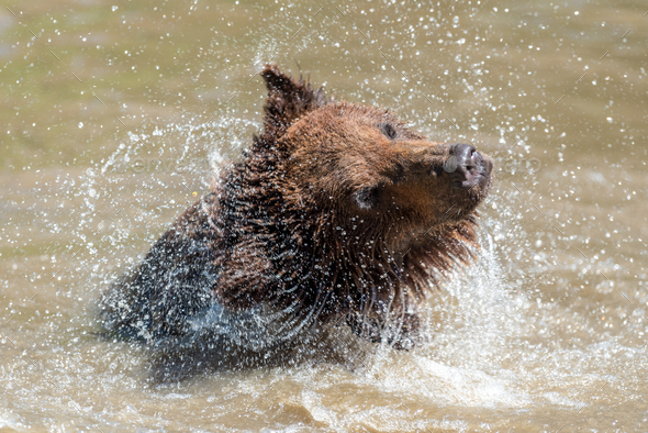 Brown bear in a water - Stock Photo - Images